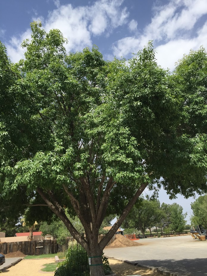 Modesto Ash tree.