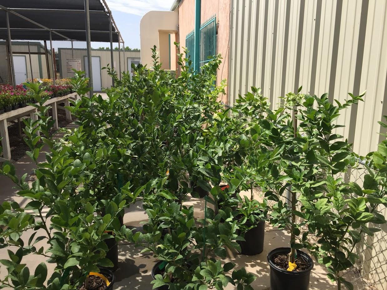 Lemon trees!