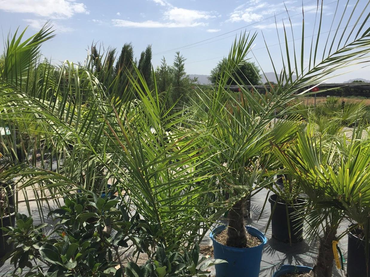 Windmill palm tree.