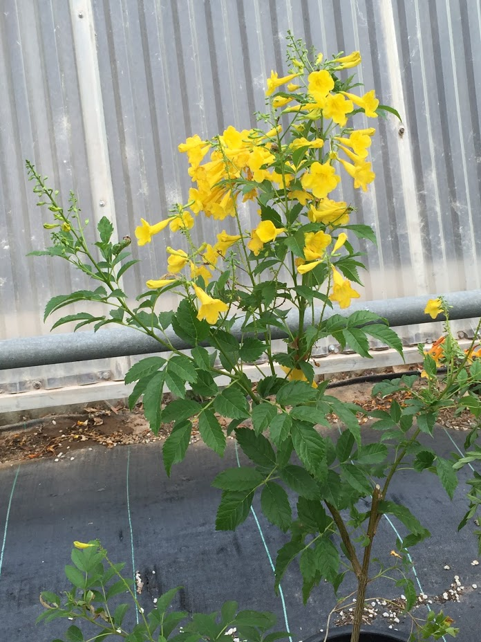 Yellow Bells: Ornamental plant!