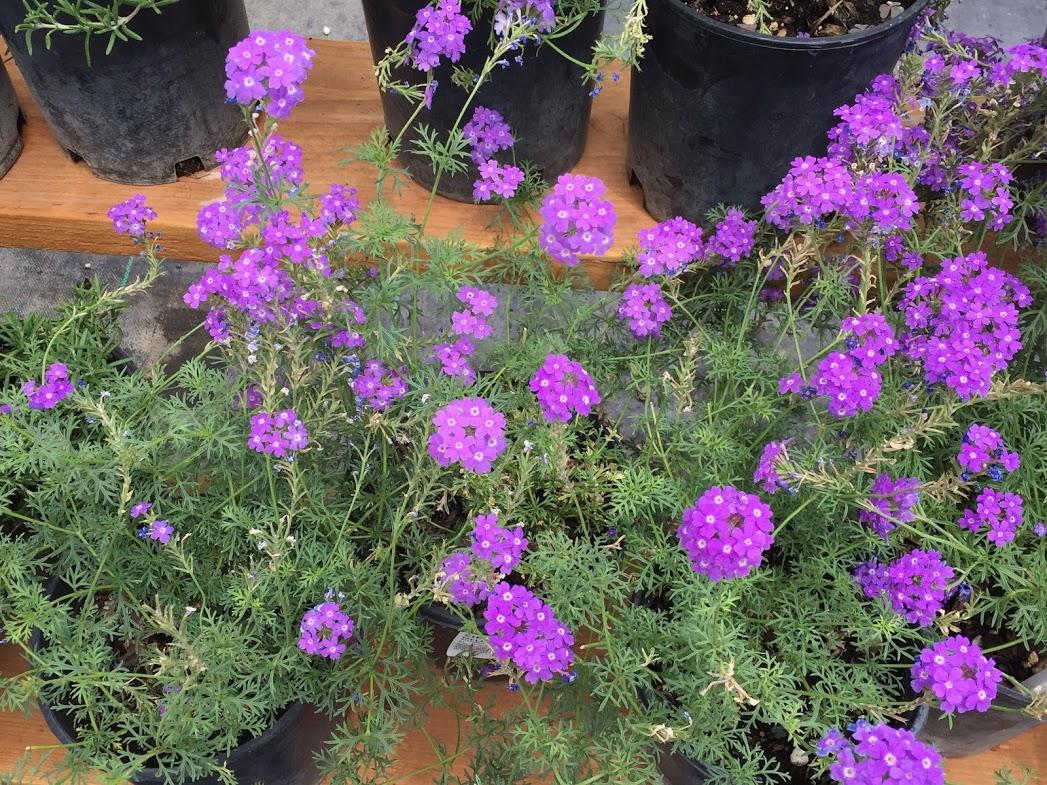 Perennia (purple)