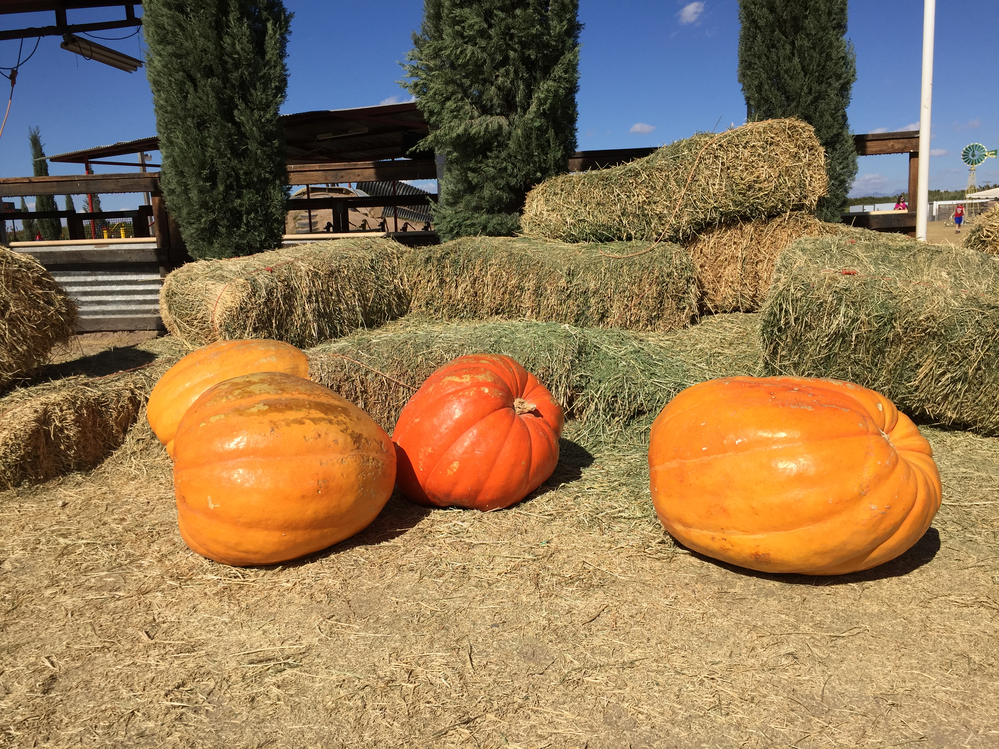 These are quite large pumpkins! Dear Son enjoyed sitting on top of them.