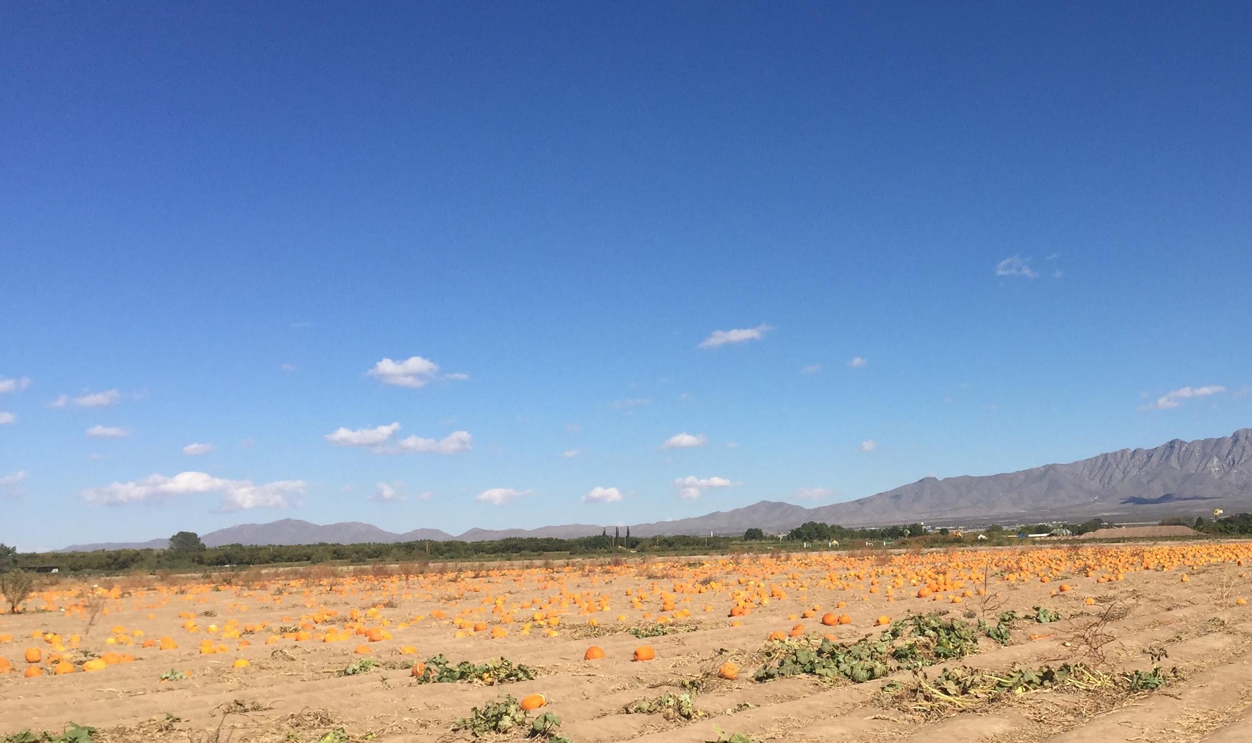 Pumpkin field!